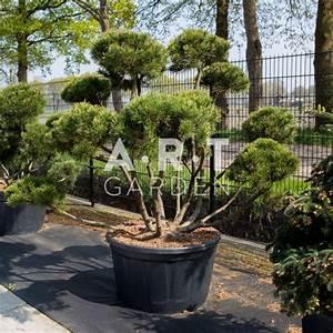 Arbre En Nuage : pinus mugo mughus arbuste original pour terrasse et jardin ~ Melissatoandfro.com Idées de Décoration