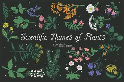 Scientific Names Plants Illustration Plant Alphabetically Listed