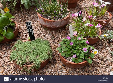 logiciel cuisine alinea growing alpines in pots 28 images a variety of alpine