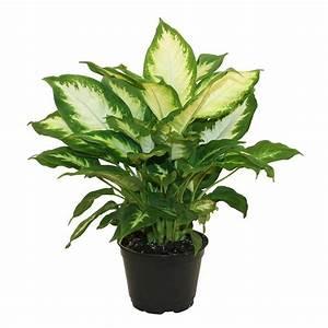 Delray Plants Dieffenbachia Camille in 6 in Pot-6CAMILLE