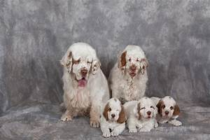 Clumber Spaniel Puppies Breed information & Puppies for Sale