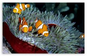 Clown Fish 4K HD Desktop Wallpaper for 4K Ultra HD TV ...