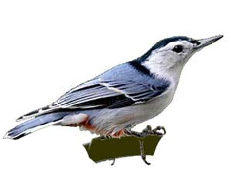 mockingjay bird pictures