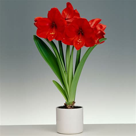 amaryllis with ceramic pot buy amaryllis bulbs