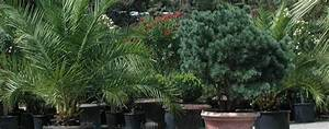 Palmen Für Den Garten : palmen f r die bepflanzung im garten oder wintergarten sowie palmen f r die gartenplanung und ~ Sanjose-hotels-ca.com Haus und Dekorationen