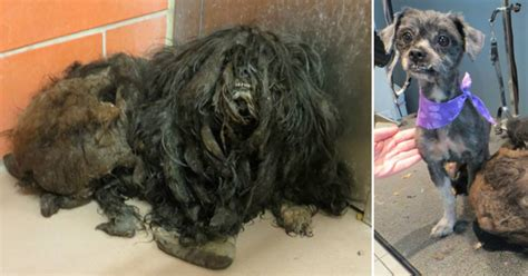 rescued dog transforms   pounds  matted fur shaved