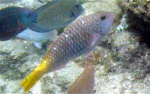 Redfin/Yellowtail Parrotfish - Sparisoma rubripinne ...