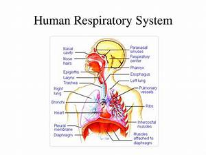 Labeled Diagram Of The Respiratory System Of A Human