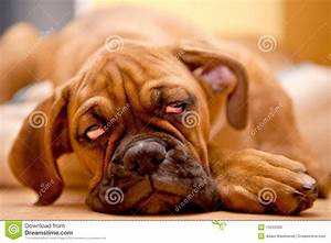 stock photo german boxer puppy dog hangover image