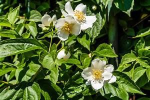Jasmin Pflanze Pflege : falscher jasmin pflegen gie en d ngen schneiden mehr ~ Markanthonyermac.com Haus und Dekorationen
