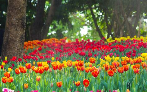 planting tulip bulbs when how gardening home