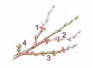 Kirschbaum Richtig Schneiden : pfirsichbaum schneiden mein sch ner garten ~ Frokenaadalensverden.com Haus und Dekorationen
