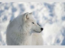 Winter Wolf by Webk1nz on DeviantArt
