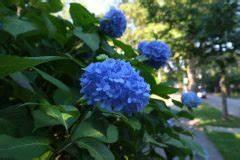 Welche Erde Für Hortensien : hortensien unterpflanzen diese pflanzen eignen sich ~ Eleganceandgraceweddings.com Haus und Dekorationen