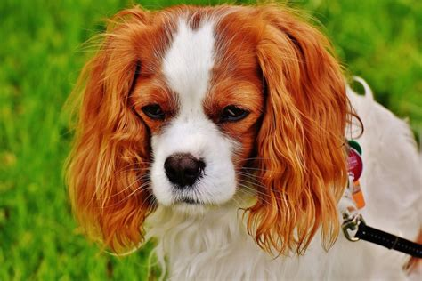 Do Spaniels Shed by Top 3 Breeds That Do Not Shed For Your Reference