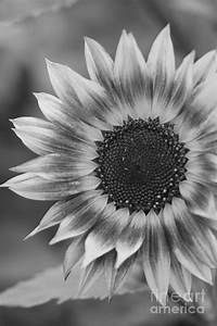 Black And White Sunflower by Brooke Roby