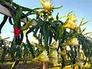 You say pitaya. I say dragon fruit - VBR