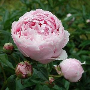 Pfingstrose Sarah Bernhardt : paeonia lactiflora 39 sarah bernhardt 39 edel pfingstrose stauden pfingstrosen ~ A.2002-acura-tl-radio.info Haus und Dekorationen