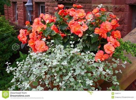 begonia pot stock image image 1040711