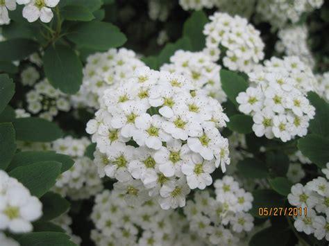 Flower with white flowering shrub identification mightylinksfo