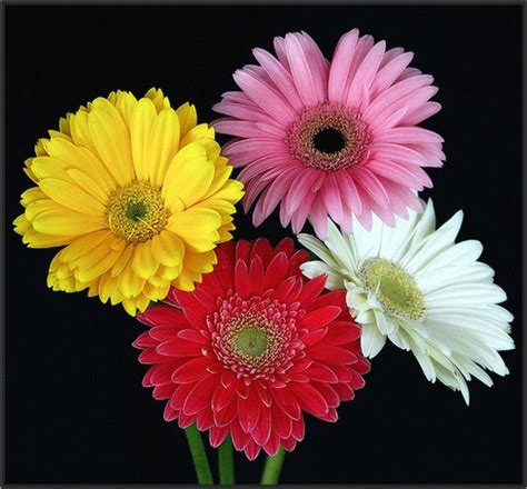 gerbera daisies colors gerbera daisies in four colors jpg