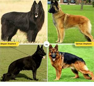 Wolf Vs Dog Size Chart Belgian Shepherd German Shepherd Vs German Shepherd Meme