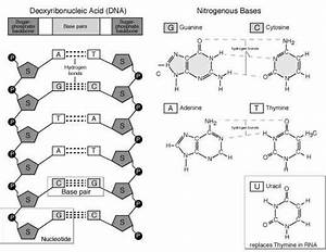 Dna - Nucleotides And Nucleic Acids