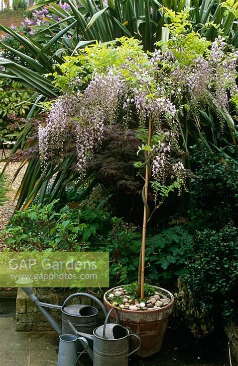 wisteria grown in pots gap gardens wisteria sinensis grown as standard in pot with collection of watering cans