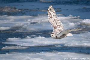 Snowy Owl in Flight | The Roger Tory Peterson Institute of ...