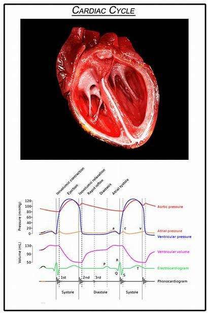 Cardiac Cycle Animated Heart Diagram Systole Diastole