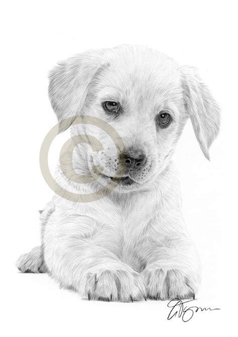 pencil drawing   labrador retriever puppy  artist