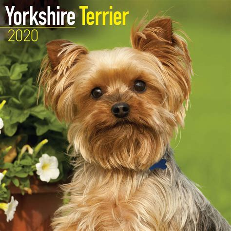 yorkshire terrier calendar calendar club uk