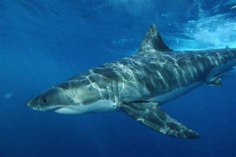 White_shark_11