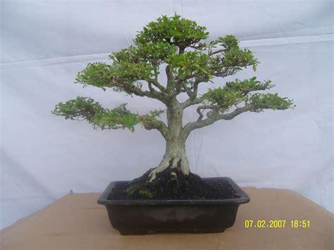 bonsai tanaman hias indramayu cirebon kuningan majalengka
