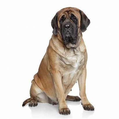 Mastiff Dog Breed Breeds Health Below