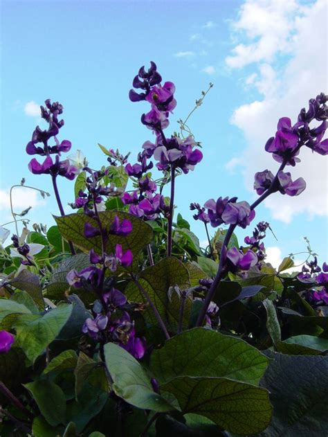 purple flower vine plant grape hyacinth vine beautiful flowers on dark green foliage the flowers when done blooming
