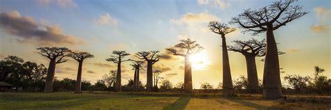 madagascar tours baobab trees trip holidays ancient travel africa itinerary explore safaris places visit 2021 need japanese audleytravel