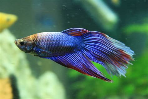 stunning freshwater fish   easy  care