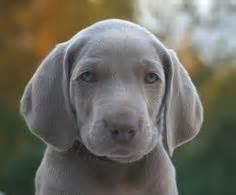 1000 ideas about blue weimaraner puppy on pinterest