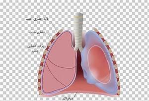 Thoracic Cavity Definition Anatomy