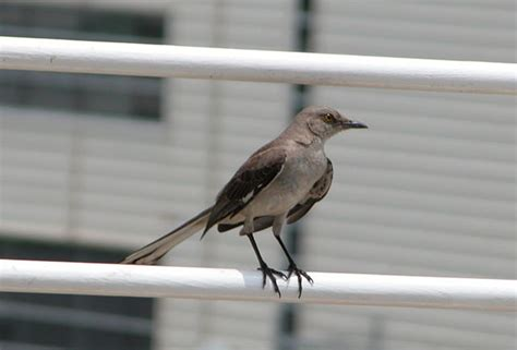 Rdu Observation Deck Address by File 2005 07 04 Bird At Rdu Jpg Wikimedia Commons