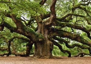 1 500 year oak tree in south carolina pics