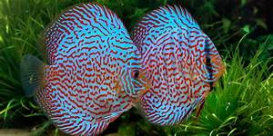 10 Most Colorful Freshwater Fish | The Aquarium Guide