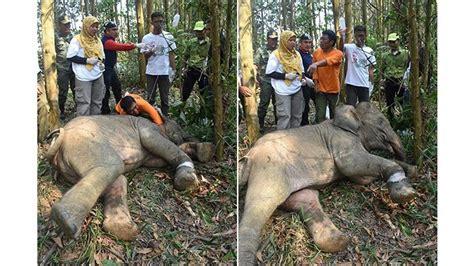 anak gajah  terperangkap jeratan babi hutan jalani