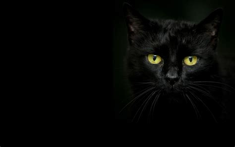 Background Black Cat by Beautiful Black Cat On A Background Wallpapers And