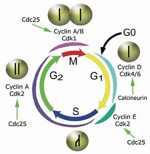 Four Phases Of The Mammalian Cell Division Cycle  The Cell