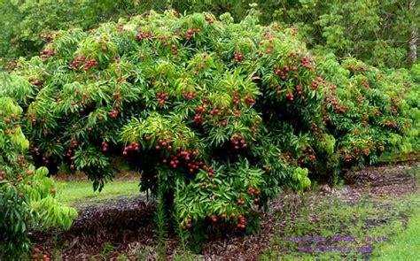 lychee lichi chinensis