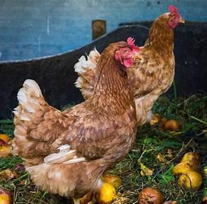Comment élever Des Poules Pondeuses : comment bien choisir la nourriture de vos poules poules poulailler pinterest ~ Dode.kayakingforconservation.com Idées de Décoration