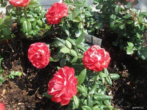 Rosa Nostalgie Gartencz