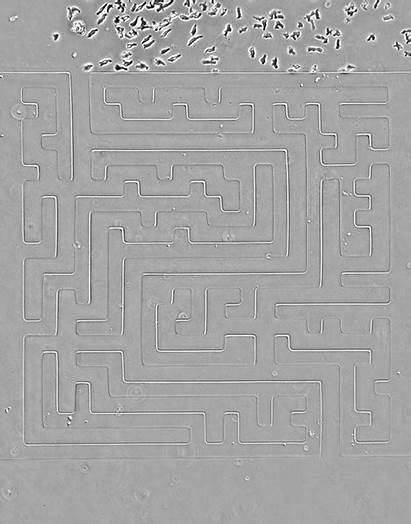 Maze Through Cells Cellular Race Tweedy Luke